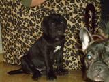 Собаки, щенки Мастино неаполетано, цена 4500 Грн., Фото