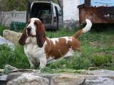 Собаки, щенята Бассет, ціна 100 Грн., Фото