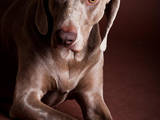 Собаки, щенята Веймарська лягава, ціна 6500 Грн., Фото