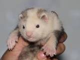 Тварини Екзотичні тварини, ціна 1300 Грн., Фото