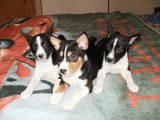 Собаки, щенки Басенджи, цена 7600 Грн., Фото