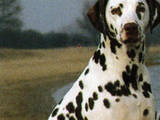 Собаки, щенята Спаровування, Фото