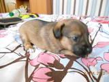 Собаки, щенки Пинчер, цена 200 Грн., Фото