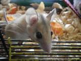 Грызуны Домашние крысы, цена 40 Грн., Фото