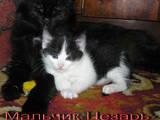 Кішки, кошенята Турецька Ангора, ціна 40 Грн., Фото