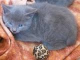 Кішки, кошенята Російська блакитна, ціна 10 Грн., Фото