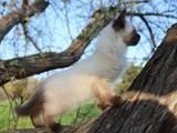 Кішки, кошенята Тайська, ціна 550 Грн., Фото