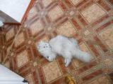 Кошки, котята Шиншилла, цена 500 Грн., Фото