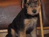 Собаки, щенята Ердельтер'єр, ціна 4500 Грн., Фото