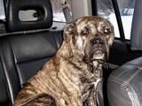 Собаки, щенята Мальоркскій бульдог (Ка Де Бо), ціна 2500 Грн., Фото