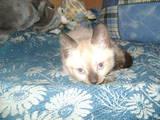 Кішки, кошенята Балінез, ціна 400 Грн., Фото