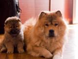 Собаки, щенки Чау-чау, цена 3800 Грн., Фото