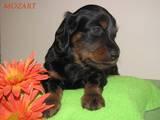 Собаки, щенята Довгошерста такса, ціна 3000 Грн., Фото