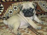 Собаки, щенки Мопс, цена 1500 Грн., Фото