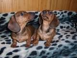 Собаки, щенята Уїппет, ціна 2200 Грн., Фото