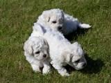 Собаки, щенки Бишон фрисе, цена 6000 Грн., Фото
