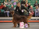 Собаки, щенки Ирландский сеттер, Фото