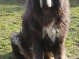 Собаки, щенята Тибетський мастиф, ціна 6000 Грн., Фото