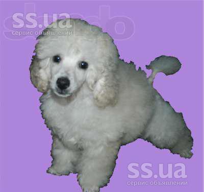 стойкая сонник щенок белый пудель ноты аромата калабрийский