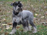 Собаки, щенки Цвергшнауцер, цена 10 Грн., Фото