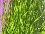 Рыбки, аквариумы Водные растения, цена 1 Грн., Фото