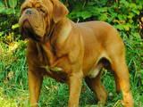 Собаки, щенки Бордосский дог, цена 8000 Грн., Фото