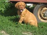Собаки, щенята Бордоський дог, ціна 4800 Грн., Фото