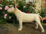 Собаки, щенята Мініатюрний бультер'єр, ціна 15000 Грн., Фото