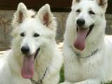 Собаки, щенки Белая Швейцарская овчарка, цена 900 Грн., Фото