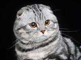 Кошки, котята Спаривание, цена 1200 Грн., Фото