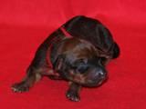 Собаки, щенята Родезійського ріджбек, ціна 5000 Грн., Фото