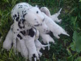Собаки, щенки Далматин, цена 600 Грн., Фото