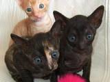 Кішки, кошенята Корніш-рекс, ціна 2000 Грн., Фото