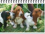 Собаки, щенята Бассет, ціна 10 Грн., Фото