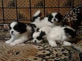 Собаки, щенята Японський хіни, ціна 2000 Грн., Фото