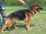 Собаки, щенки Спаривание, цена 1500 Грн., Фото