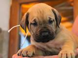 Собаки, щенята Канарський дог, ціна 1234 Грн., Фото