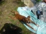 Собаки, щенята Стаффордширський бультер'єр, ціна 550 Грн., Фото