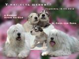 Собаки, щенята Південноросійська вівчарка, ціна 2500 Грн., Фото