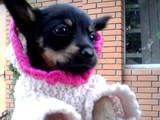 Собаки, щенята Російський довгошерстий тойтерьер, ціна 700 Грн., Фото