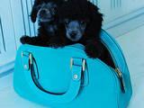 Собаки, щенки Той-пудель, цена 2500 Грн., Фото