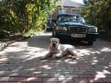 Собаки, щенята Американський бульдог, ціна 10 Грн., Фото
