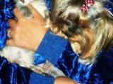 Кошки, котята Русская голубая, цена 10 Грн., Фото