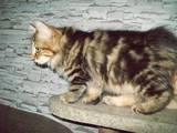 Кішки, кошенята Курильський бобтейл, ціна 10 Грн., Фото