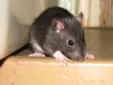 Грызуны Домашние крысы, цена 10 Грн., Фото