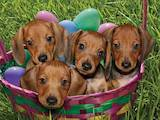 Собаки, щенята Гладкошерста мініатюрна такса, ціна 500 Грн., Фото