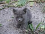 Кошки, котята Русская голубая, цена 100 Грн., Фото