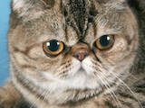 Кошки, котята Американская короткошерстная, цена 800 Грн., Фото