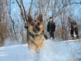 Собаки, щенки Восточно-Европейская овчарка, цена 900 Грн., Фото