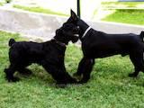 Собаки, щенки Ризеншнауцер, цена 1200 Грн., Фото